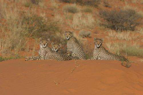 New study suggests humans to blame for plummeting numbers of cheetahs