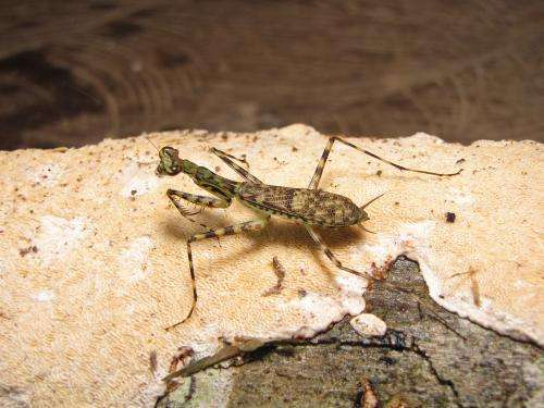 Nineteen new speedy praying mantis species discovered that hide and play dead to avoid capture