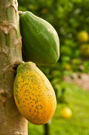 Mexican technology saves papaya production by detecting virus