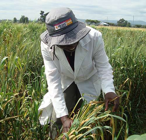PhD students in India, Ethiopia and Kenya to fight wheat stripe rust