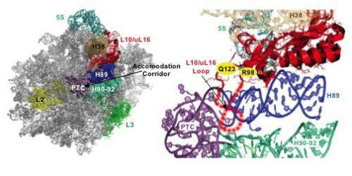 Possible explanation for human diseases caused by defective ribosomes