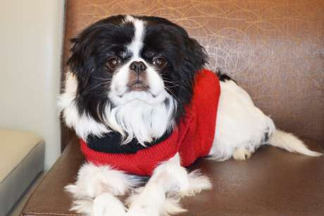 Rare canine open-heart surgery succeeds