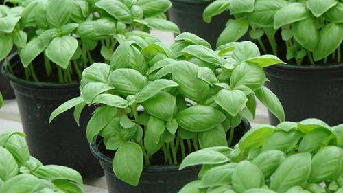 Research aims to reduce water footprint and increase shelf life of potted and cut herb production