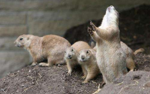Researchers suggest prairie dog jump-yips are means to assess group alertness (w/ Video)