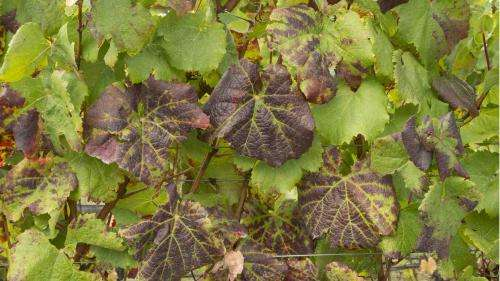 Research targets costly grapevine disease