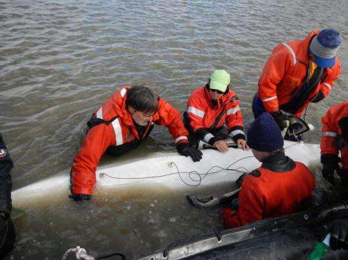 Scientists test hearing in Bristol Bay beluga whale population