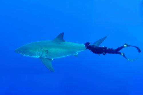 Sharks—why size and species matter