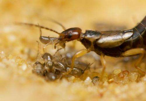 Sibling cooperation in earwig families gives clues to early evolution of social behavior