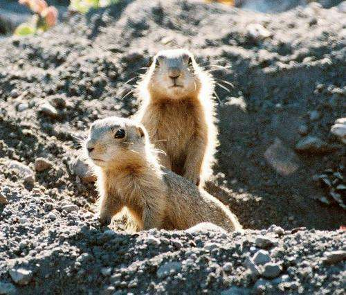 Social network research may boost prairie dog conservation efforts