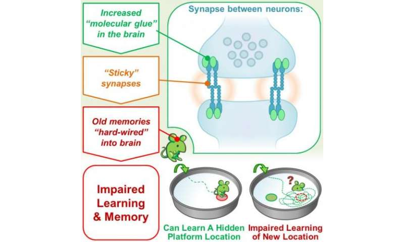 'Sticky synapses' can impair new memories by holding on to old ones