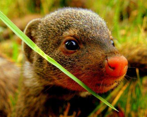 Stress can make hard-working mongooses less likely to help in the future