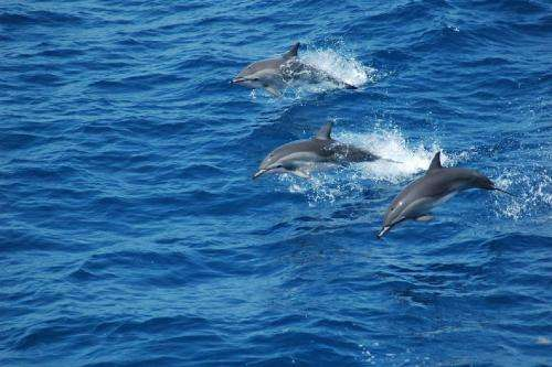 Study discovers natural hybridization produced dolphin species