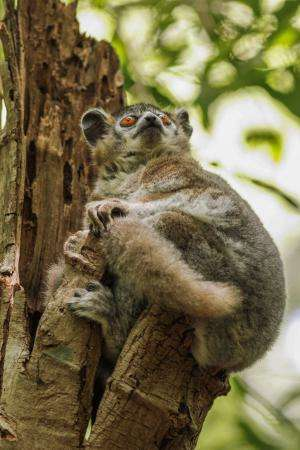 Study shows lemurs use communal latrines as information exchange centers
