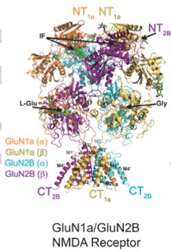 Unprecedented detail of intact neuronal receptor offers blueprint for drug developers