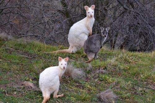 UTS kangaroo research program confirms rare albino wallaroos on Mount Panorama