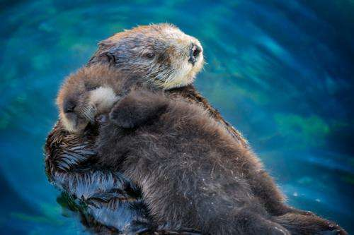 Veterinary researchers discover new poxvirus in sea otters