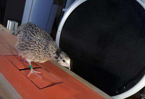 What quails can teach us about the gait of dinosaurs