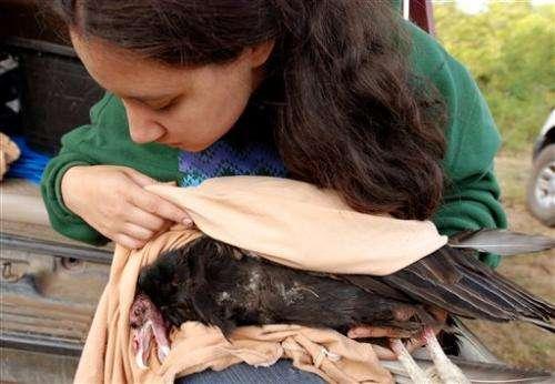 Yurok Tribe to release condors in California