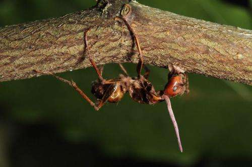 Zombie ant fungi 'know' brains of their hosts