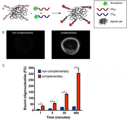 Sequence-specific binding between ODN-conjugated hydrogels and oligonucleotides