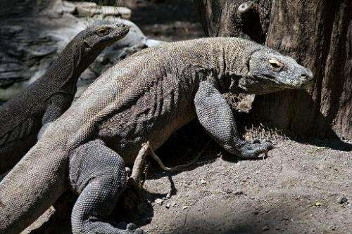 File photo taken on June 2, 2014 shows two Komodo dragons pictured in an enclosure at the Surabaya Zoo