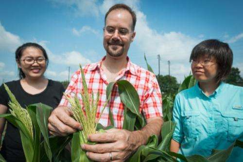 Researchers look at small RNA pathways in maize tassels