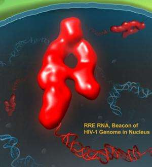 Researchers study how HIV-1 distinguishes its own RNA among all the others in the nucleus