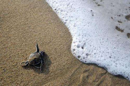 File photo taken on January 21, 2011 shows a baby green turtle crawling to the sea after being hatched at a turtle sanctuary in