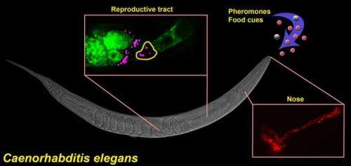 Researchers use roundworms to unlock new information on fertility