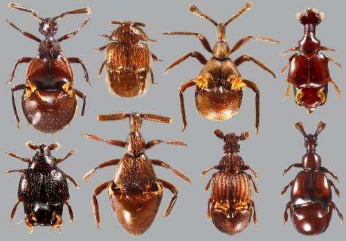 52-million-year-old amber preserves 'ant-loving' beetle