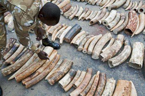 A Kenya Wildlife Service (KWS) Ranger inspects and numbers a confiscated ivory haul at Mombasa Port on October 8, 2013