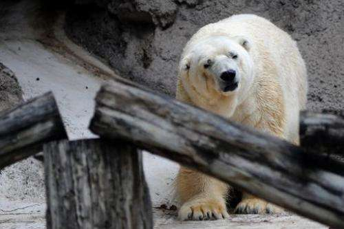Arturo, the only polar bear in Argentina, seen in captivity at a zoo in Mendoza, 1,050 km west of Buenos Aires, on February 5, 2