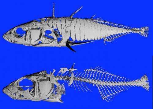 Counting fish teeth reveals regulatory DNA changes behind rapid evolution, adaptation