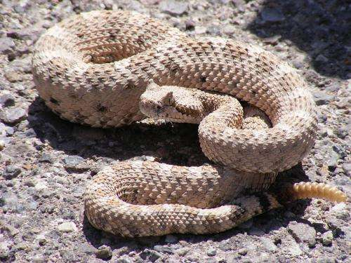 Five things to know about rattlesnakes and their babies