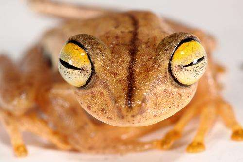 Genes and calls reveal 5-fold greater diversity of Amazon frog species