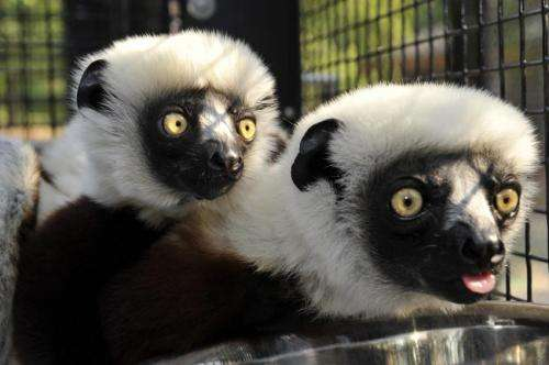 Genome sequences show how lemurs fight infection