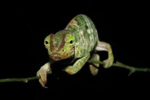 Habitat loss and fragmentation reduce chameleon population in Tanzania
