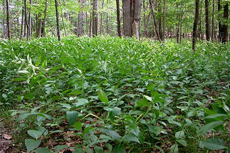 Invasive vines swallow up New York's natural areas