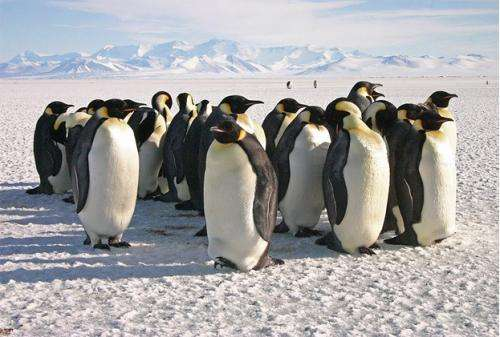 New research reveals that emperor penguins are more willing to relocate