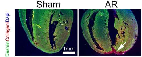 New study casts doubt on heart regeneration in mammals