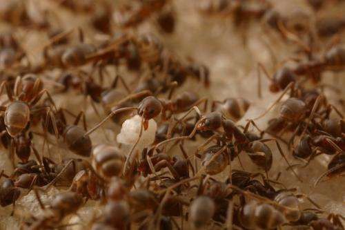 Novel 'attract-and-kill' approach could help tackle Argentine ants