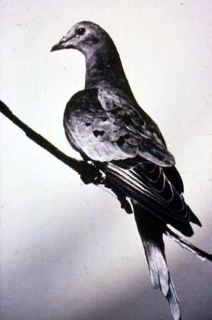 Passenger pigeon loss is red flag