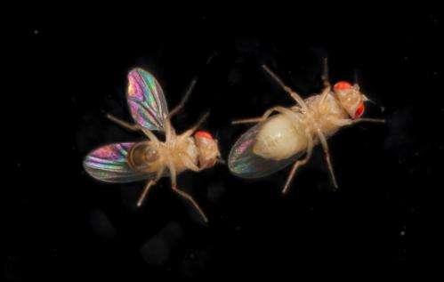 Secret wing colours attract female fruit flies