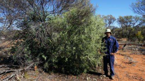 Sowing sandalwood seeds bolsters ailing populations