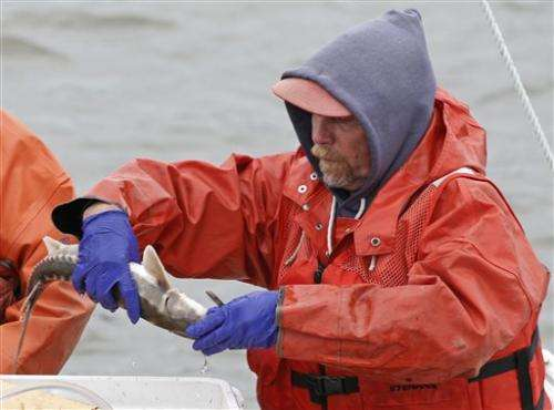 Speedy surgery puts transmitters into Hudson fish