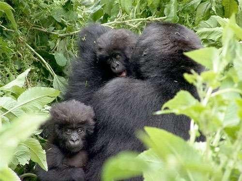 Trekking tourists to become wild gorilla guardians