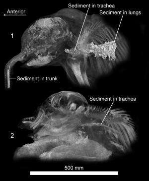 Two CT-scanned Siberian mammoth calves yield trove of insights