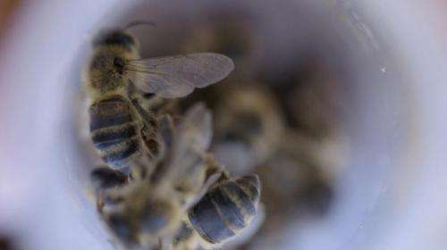 Using microscopic bugs to save the bees