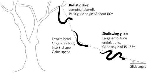 What makes flying snakes such gifted gliders?