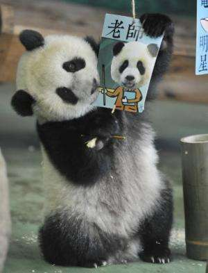 "Yuan Zai , the first Taiwan-born baby panda, bites a career card reading ""teacher"" - the cards are given during """